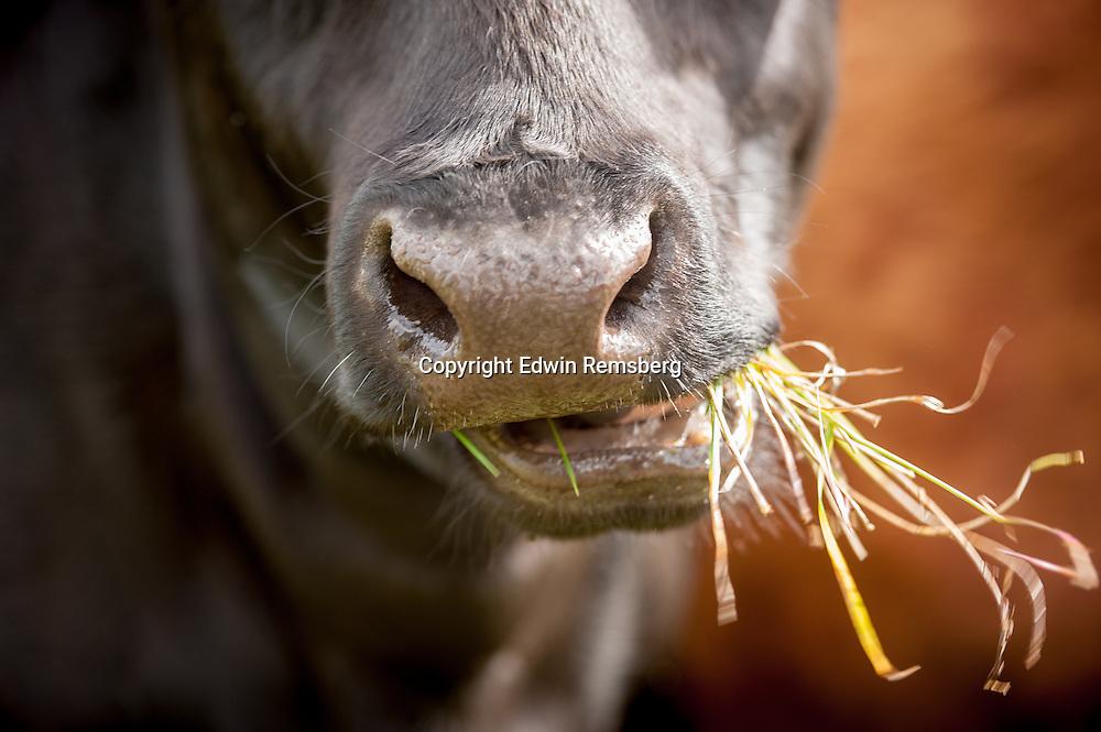 Cattle (Bos primigenius) eating grass