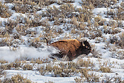 A bison running in Yellowstone National Park