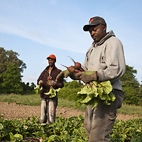 Farm workers harvesting beets.