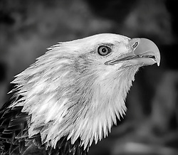 Angel came to the National Eagle Center in 2000.  She had been found on the ground with a broken wing near Grantsburg, WI in 1999. She was just a fledgling and had been surviving on scraps of fish from nearby herons' nests.<br />