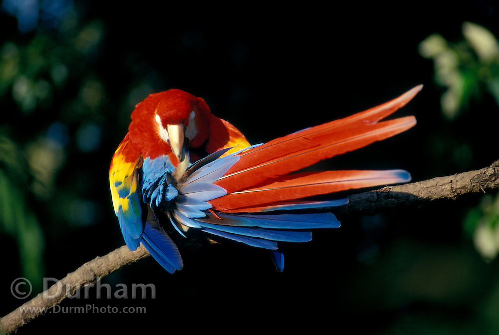 A Scarlet Macaw (Ara macao) preening (grooming) it colorful feathers. Native from South Mexico to Amazonia (Brazil). Captive, Portland, Oregon.