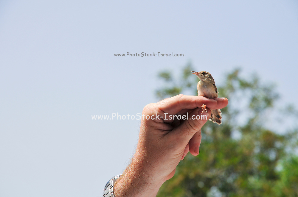 Graceful Prinia also Graceful Warbler (Prinia gracilis) being ringed, measured and weighed. Photographed in Israel, Kishon River, Haifa in May