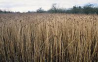 Reeds in a marshy wetland, Suffolk, England