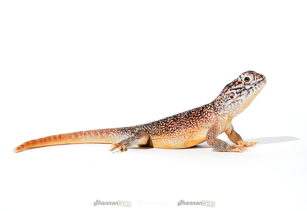 Central Netted Dragon (Ctenophorus nuchalis) is native to arid regions of Central Australia.  This individual is a male.