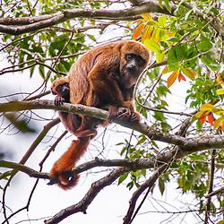 Primatas (Macacos) - Primates