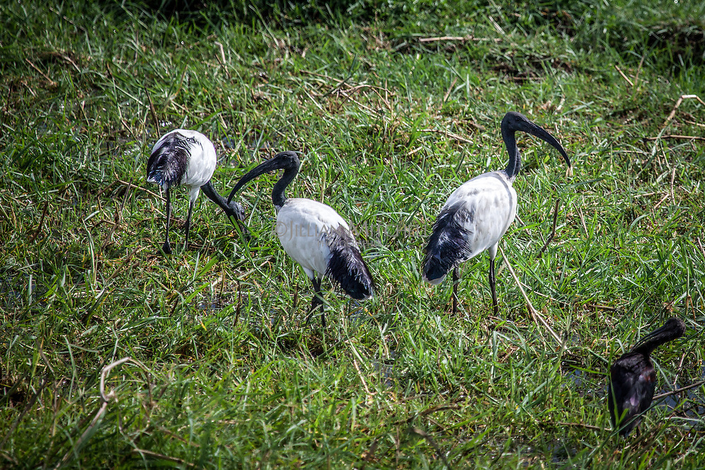 African Sacred Ibis on the banks of the Chobe River, Botswana.