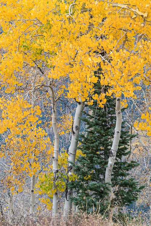 Bright yellow aspen trees and a pine tree, Aspen, Colorado.