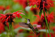 female,humming bird,dorset,vt,feeding on beebaum