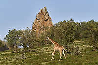 Kenya, region de Nakuru, parc national de Hell's Gate, girafe // Kenya, Nakuru county, Hell's Gate National Park, giraffe