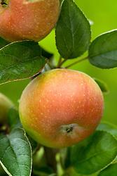Apple 'Court Pendu Plat'  - Malus
