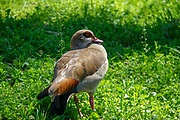 Egyptian Goose (Alopochen aegyptiaca) Photographed in Israel in February