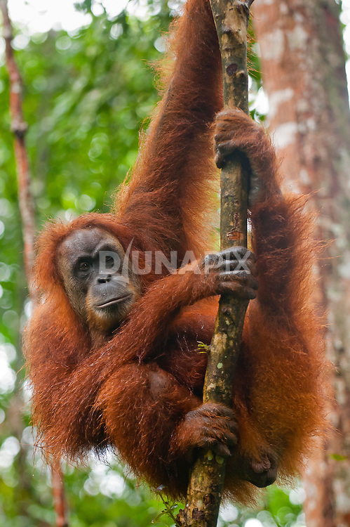 A Sumatran orangutan looks to camera and raises an eyebrow as if to question the viewer.