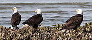 Three mature Bald Eagles (Halietus leucocephalus) sit on an oyster bed at the edge of the Hood Canal, Seabeck, WA, USA