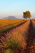 Lavender, Alpes de Haute Provence, Provence, France