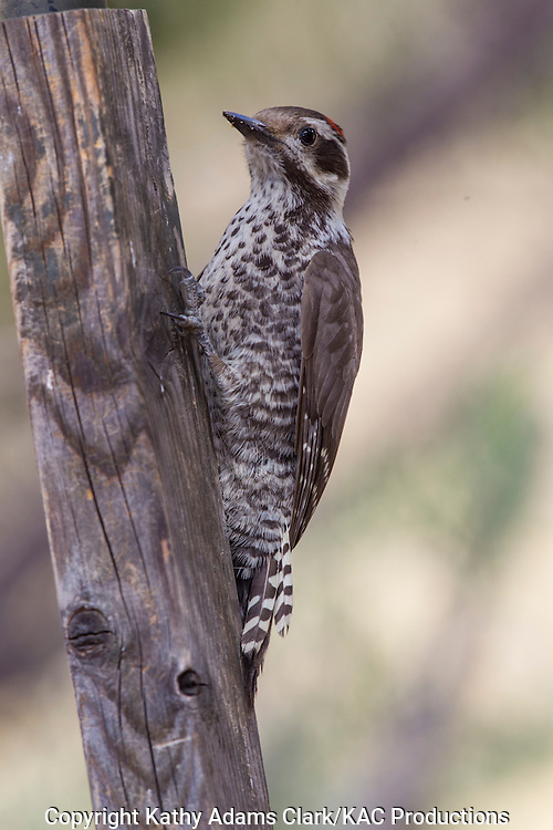 Arizona woodpecker; Picoides arizonae; Sonoran Desert; Southern; Summer, Madera Canyon, Arizona.