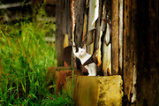 White kitten peaking out of barn, stylized