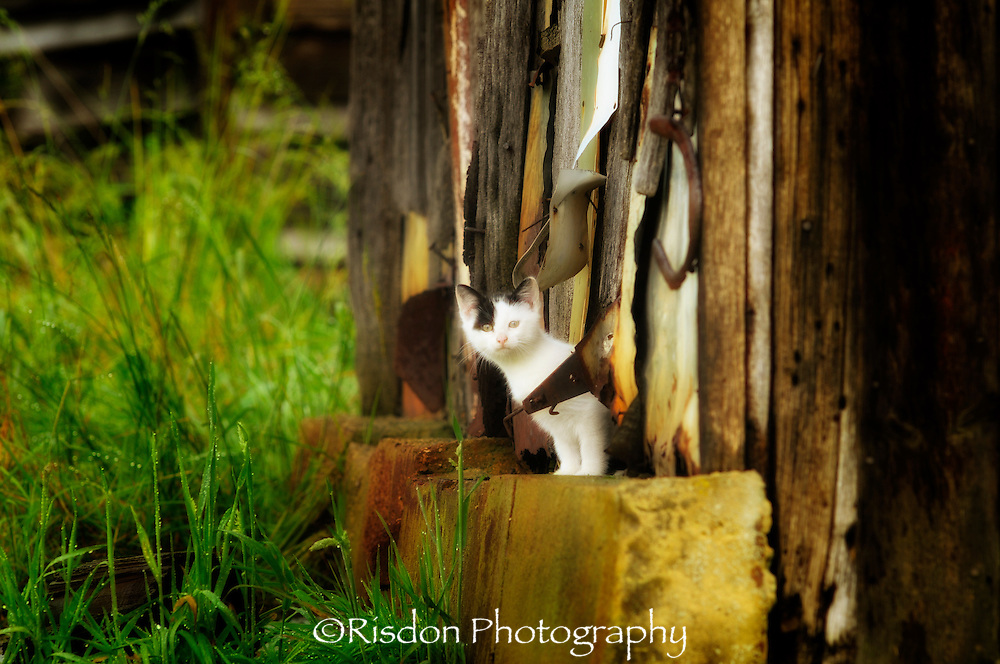 White kitten peaking out of barn, stylized