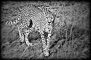 Cheetah in Masai Mara Reserve, Kenya, Africa (photo by Wildlife Photographer Matt Considine)