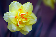 Daffodils Editorial and Stock Photos