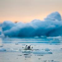 Norway, Svalbard, Spitsbergen Island, Polar Bear (Ursus maritimus) swimming among icebergs near glacier in Fuglefjorden (Bird Fjord)