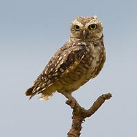 Burrowing Owl in a tree, Mato Grosso, Brazil