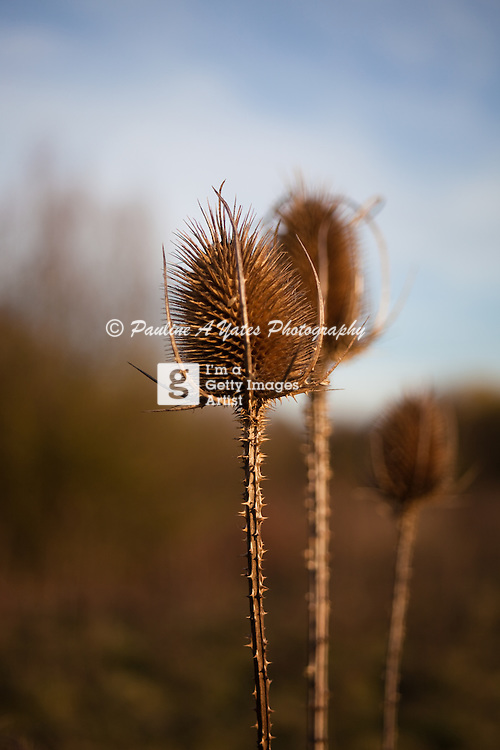 A Teasel seed head in the early autumn countryside