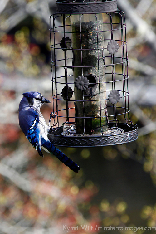 North America, Canada, Nova Scotia, Eastern Shore. Blue Jay on Birdfeeder at Liscombe Lodge in Liscombe Mills.