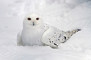 Male Snowy Owl (Bubo scandiacus). Unlike many other owls, the snowy owl is diurnal, hunting during the day Photographed in the Arctic region, Finland
