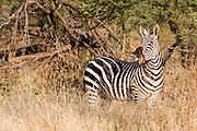 Zebra, late afternoon, Tarangire National Park, Tanzania