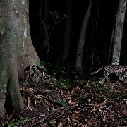 The leopard cat (Prionailurus bengalensis) is a small wild cat of South and East Asia. Camera trap image.