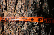 © 2008 Randy Vanderveen, all rights reserved.Grande Prairie, Alberta.A piece of warning tape marks a tree infected with the Mountain Pine Beetle. Hundreds of trees are being cut down to prevent the infestation of the beetle spreading.