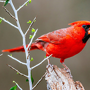 Cardinal perched on a branch in South Texas.