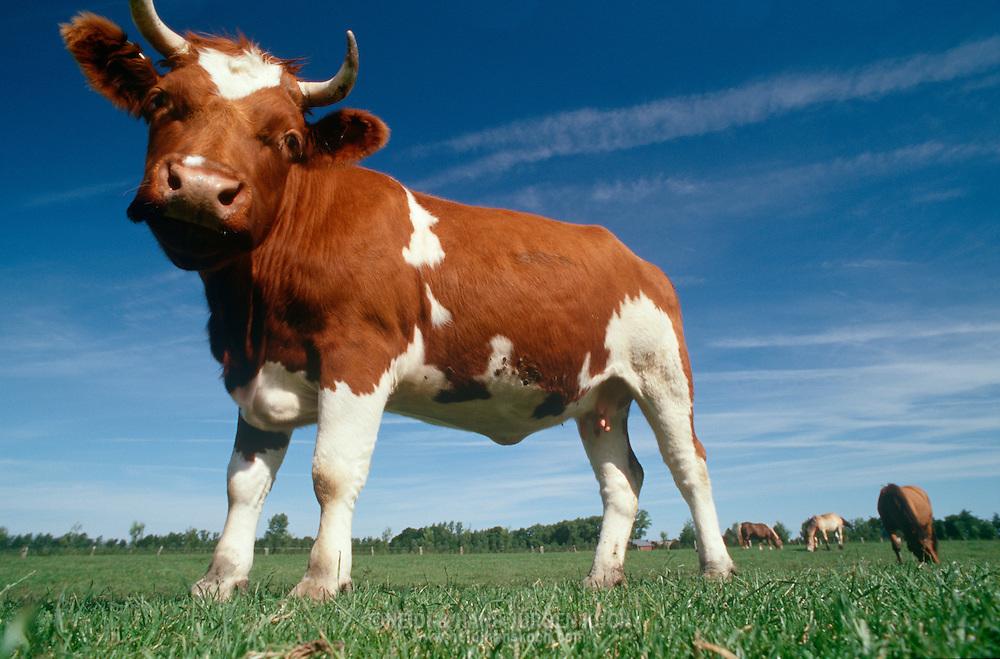 DEU, Deutschland: Hausrind (Bos taurus), Kuh steht auf der Weide, Rasse: Rotbunte, Norddeutschland | DEU, Germany: Domestic cattle (Bos taurus), cow standing on feedlot, race: Red Holstein, Northern Germany |