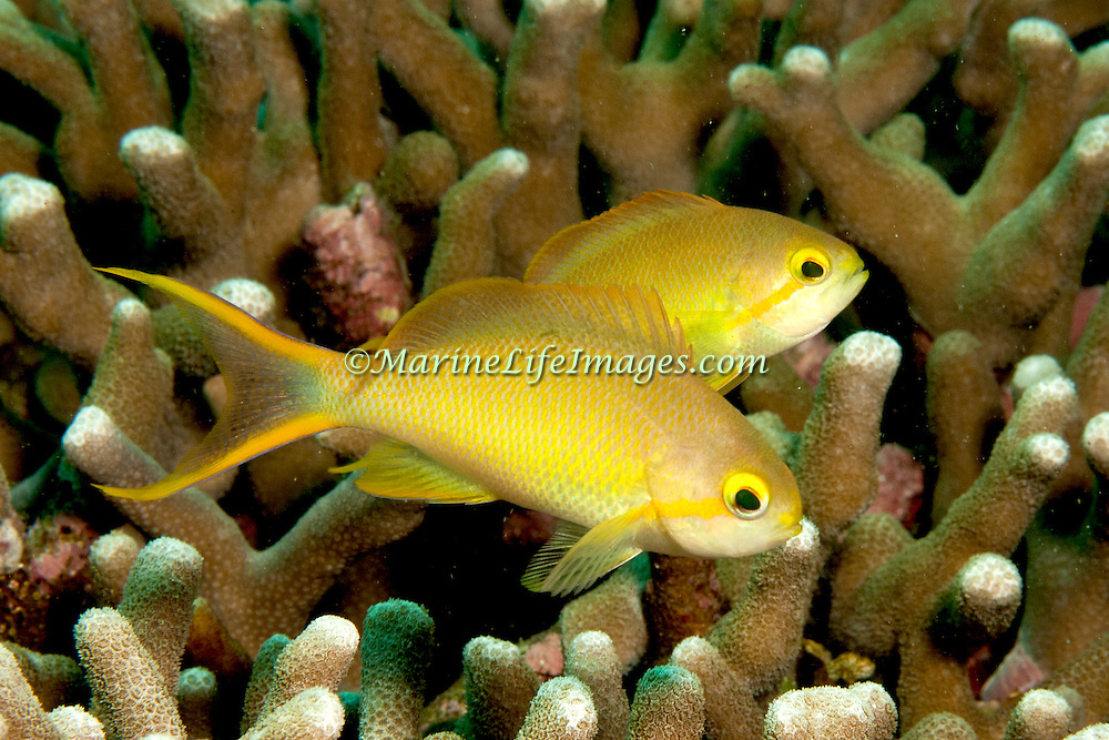 Threadfin Anthias inhabit reefs. Picture taken Philippines, Dumaguete.