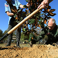 Lee County Master Gardner Dale Smith finishes planting a Magnolia tree at Ballard Park in Tupelo to celebrate Mississippi's Bicentennial of statehood.