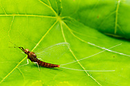Brushlegged Mayfly (Isonychia sp.)<br /> ALABAMA: Tuscaloosa Co.<br /> Tulip Tree Springs off Echola Rd.; Elrod<br /> 3-May-2016<br /> J.C. Abbott #2807 &amp; K.K. Abbott