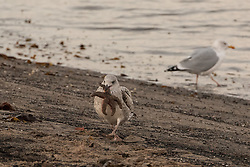 With just a week to go until the big day, pre-Christmas stress is even causing disagreements in the bird world, as gulls on Portobello beach fight over a star(fish) for the top of their Christmas Tree.<br /> <br /> <br /> © Jon Davey/ EEm