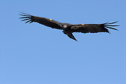 A California Condor (Gymnogyps californianus) in the sky above the Big Sur coast, California.