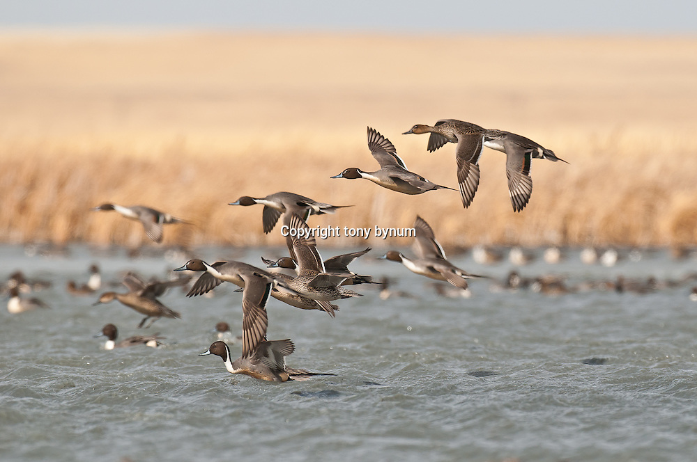 courtship flight, northern pintail ducks flying over water close up, wetland background