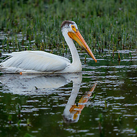 White pelican, Cherry River, Bozeman, Montana