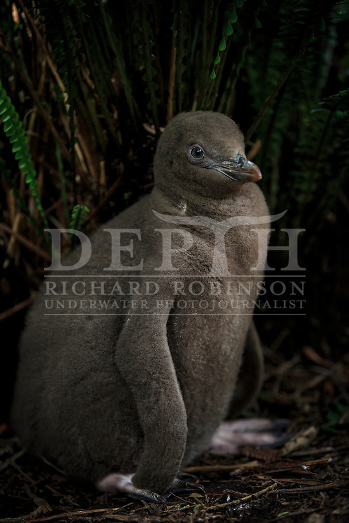 Megadyptes antipodes (Yellow eyed penguin) chick at Enderby Island, Auckland Islands, New Zealand. <br /> 07 January 2016<br /> Photograph Richard Robinson &copy; 2016