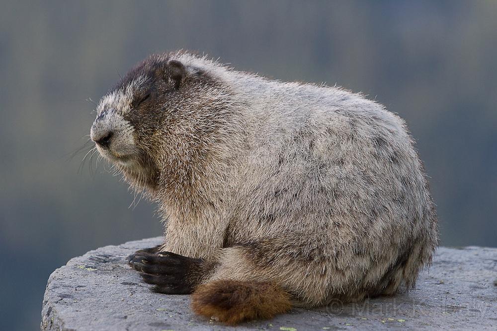 Hoary Marmot Sleeping - DND