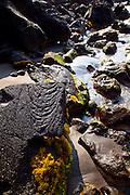 Limu, seaweed, Hookena, Island of Hawaii