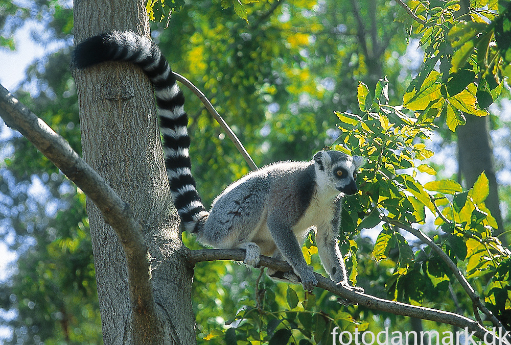 Ring-tailed lemur in Knuthenborg