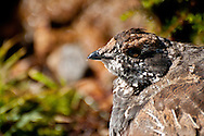 A female Sooty Grouse (Dendragapus fuliginosus) in Paradise Valley, Mt. Rainier National Park.