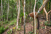 Red-bellied lemur (Eulemur rubriventer) in the forest of Palmarium Resort, Madagascar.