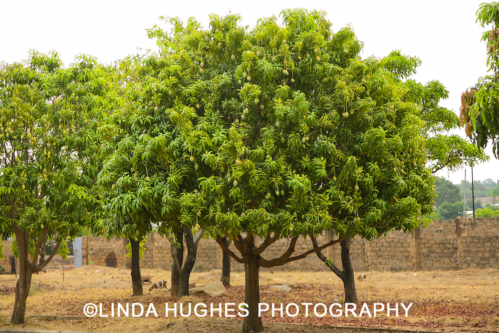 Mango Trees in the Upper West Region of Ghana West Africa