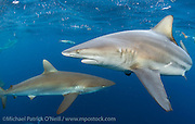 A Black tip Shark, Carcharhinus limbatus, and a Silky Shark, Carcharhinus falciformis, swim side by side during a shark dive in Federal waters offshore Jupiter, Florida, United States.