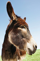 Donkey in green field close-up of head