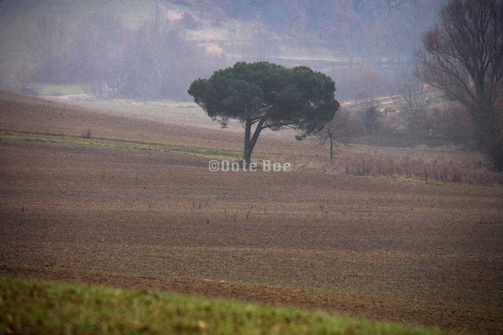 lone pine tree in agricultural land